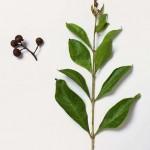 Feuille et fleur de l'arbre Henné